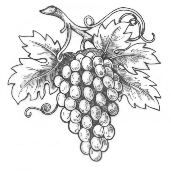 grape-vineyard-drawing